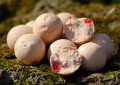 Carp Killers Boilies Scoberry 1kg (16mm / 20mm / 24mm)